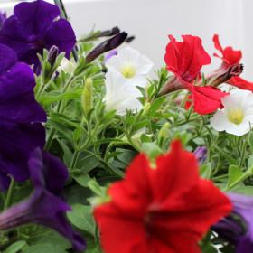 Petunia - WK Special