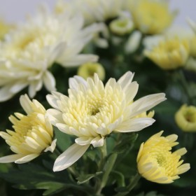 Chrysant - Wit