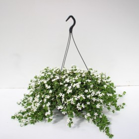 Bacopa White
